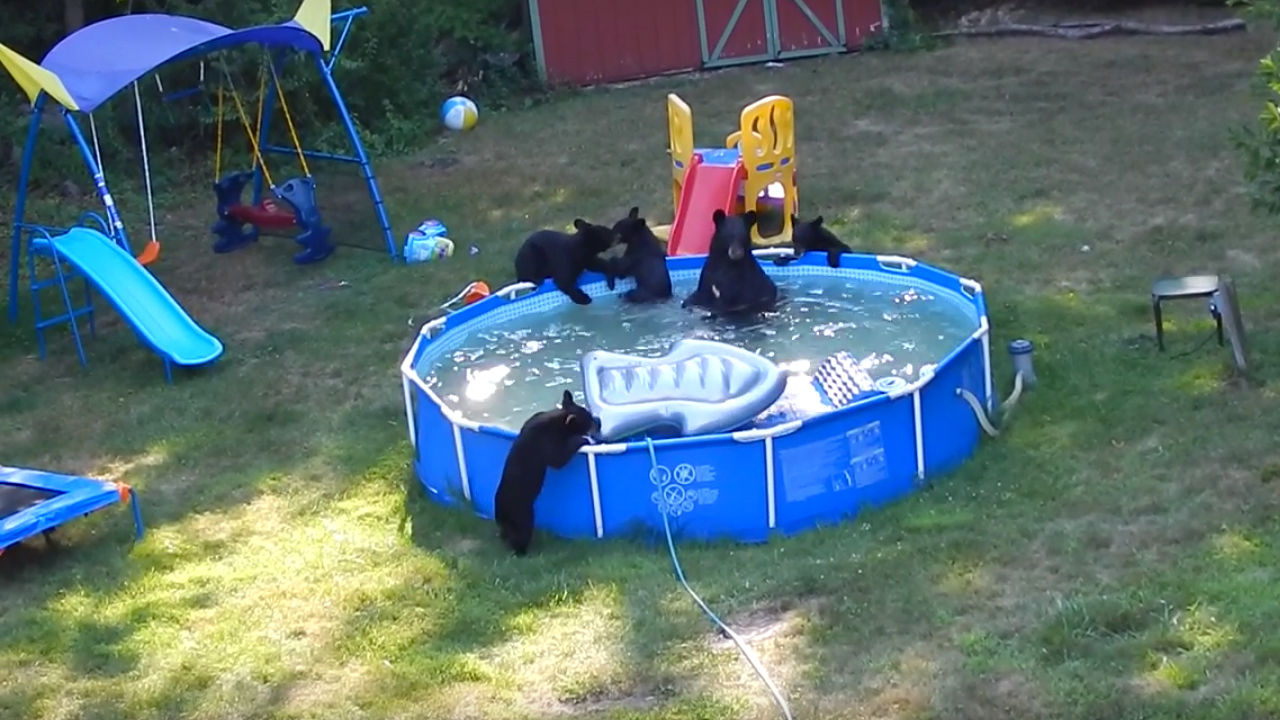 3050230 poster p 1 watch a fun loving family of bears crash a new jersey familys backyard pool